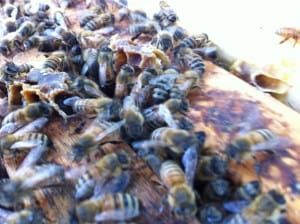 Our bees have built up very nicely this spring, despite the cool, rainy weather.