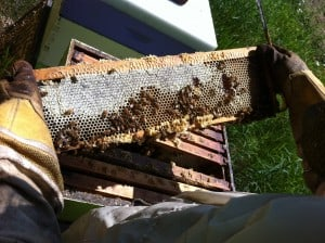 A partially capped frame of honey - the Creator's golden gift to anybody willing to sweat a little (and withstand a few bee stings.)