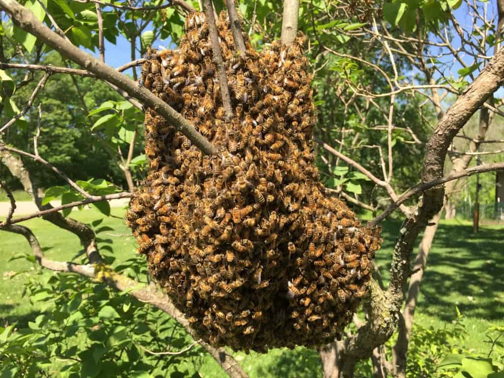 A swarm temporarily bivouacs on a lilac shrub as scout bees roam the neighborhood looking for a place (e.g., a nice dark cavity) to set up house permanently.